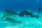 Bahamas, Sharks