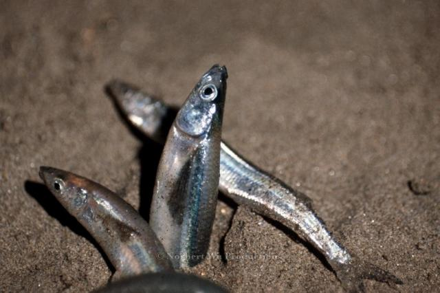 Grunion;Behavior;Reproduction;Spawning