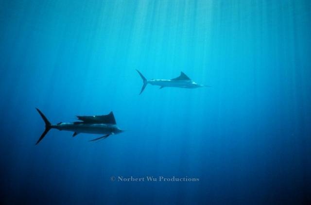Indo-Pacific sailfish;Mexico;Sea of Cortez;Commercial