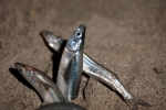 Grunion;Behavior;Reproduction;