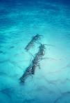 Caribbean-spiny-lobster;Defens
