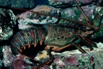 California-Spiny-Lobster;Behav