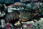 California-Spiny-Lobster;Behav