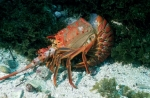 California-Spiny-Lobster;Kelp-