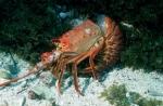 California-Spiny-Lobster;Kelp-