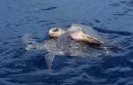 Reptile;Green-sea-turtle;Open-