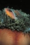 Clownfish, Anemonefish