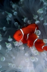 Clownfish, Anemonefish