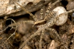 wolf-spider-carrying-egg-case;