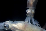 Bioluminescent Squid