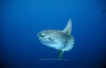 Ocean-sunfish;Open-ocean;Calif