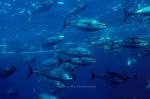 Yellowfin-tuna;Commercial;Open