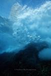 Revillagigedos Islands, Mantas