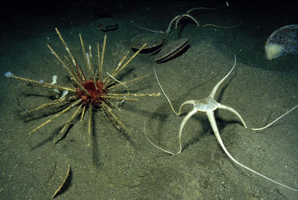 Phyla Echinodermata  |Brittle Starfish Life Cycle