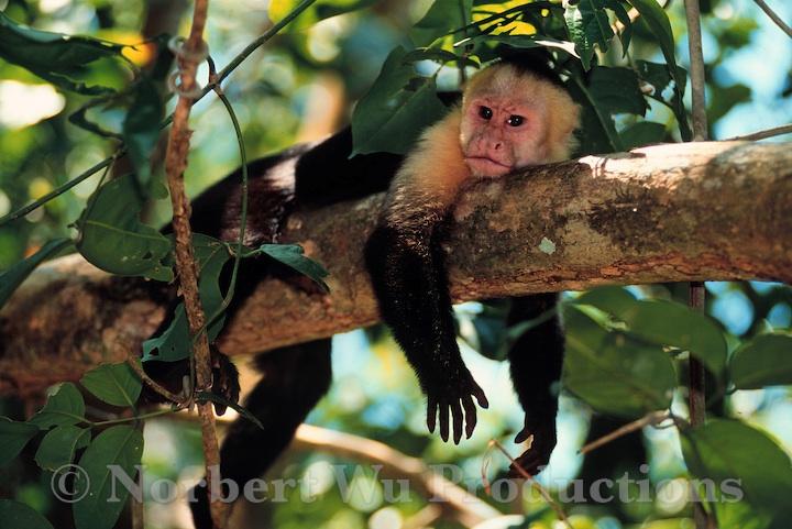 ... ) white-faced monkey; Cebus capucinus tropical rainforest; Costa Rica