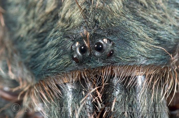 Pink Toe Tarantula Web Pink-toe Tarantula Ins0071